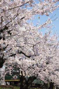 桜と電車の写真素材 [FYI00226445]