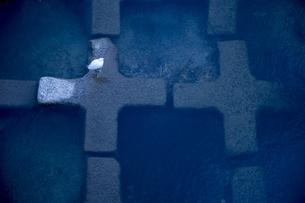 鴨川の水鳥の写真素材 [FYI00226462]