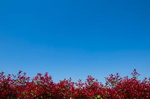 赤い葉の植込みと青空の写真素材 [FYI00226488]
