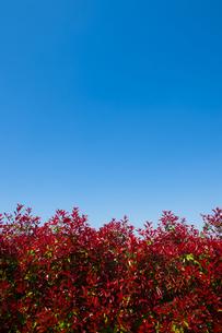 赤い葉の植込みと青空の写真素材 [FYI00226495]