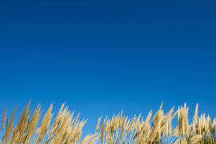 ススキと青空の写真素材 [FYI00226514]