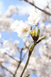 sakura1の写真素材 [FYI00226690]