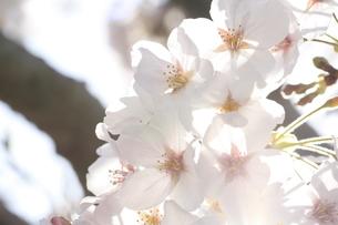 sakura4の写真素材 [FYI00226691]