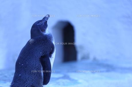 ペンギンの写真素材 [FYI00226728]
