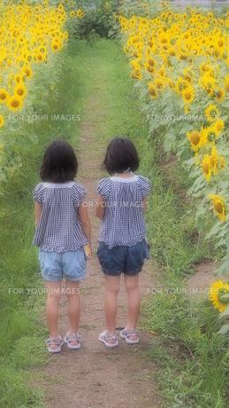 ひまわり畑と後ろ姿の女の子達の写真素材 [FYI00226746]