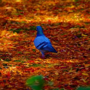 枯葉と鳩の写真素材 [FYI00226767]