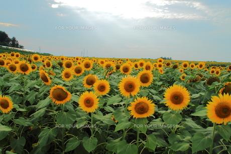 ひまわり畑の写真素材 [FYI00226792]