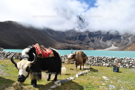 ヤクと湖 ネパール 標高5000mの写真素材 [FYI00227081]