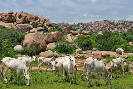 白い牛の群れ ハンピの写真素材 [FYI00227108]