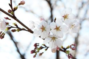 桜の写真素材 [FYI00227231]