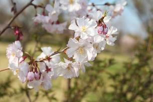 桜の写真素材 [FYI00227237]