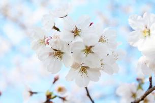 桜の写真素材 [FYI00227245]