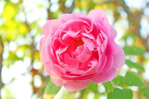 薔薇の写真素材 [FYI00227296]