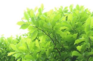 新緑 エコイメージの写真素材 [FYI00227339]