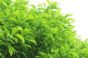 新緑 エコイメージの写真素材 [FYI00227345]