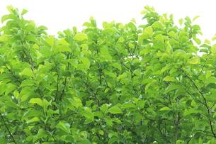 新緑 エコイメージの写真素材 [FYI00227358]