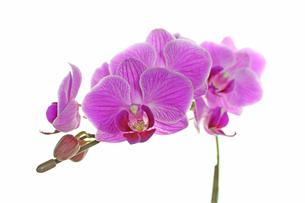 胡蝶蘭の写真素材 [FYI00227371]