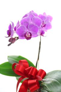胡蝶蘭の写真素材 [FYI00227373]