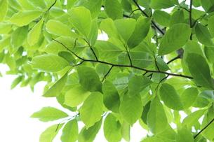 新緑 エコイメージの写真素材 [FYI00227374]