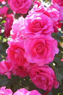 満開の薔薇の写真素材 [FYI00227377]