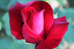 深紅の薔薇の写真素材 [FYI00227387]