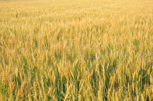 麦畑の写真素材 [FYI00227388]