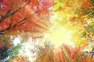 紅葉と日差しの写真素材 [FYI00227526]