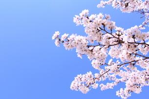 ソメイヨシノの写真素材 [FYI00227592]