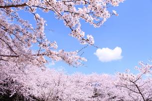 ソメイヨシノの写真素材 [FYI00227595]