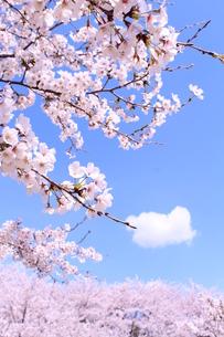 ソメイヨシノの写真素材 [FYI00227596]