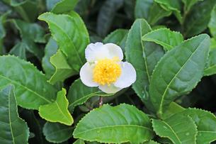 お茶の花の写真素材 [FYI00227687]