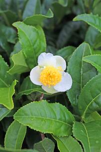 お茶の花の写真素材 [FYI00227717]