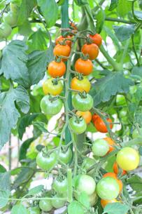 トマトの写真素材 [FYI00227792]