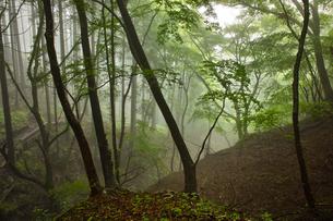 丹沢 鍋割山への登山道での朝霧の森の素材 [FYI00227818]