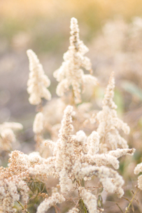 白く綿のようになったセイタカアワダチソウの写真素材 [FYI00228175]