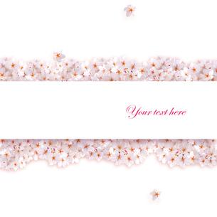 桜 中心コピースペース の写真素材 [FYI00228268]