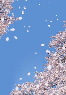 青空に舞う桜 の写真素材 [FYI00228269]
