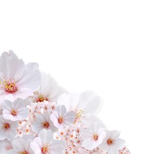 桜 斜め配置の写真素材 [FYI00228297]