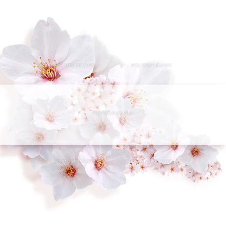 桜 中心コピースペースの素材 [FYI00228298]