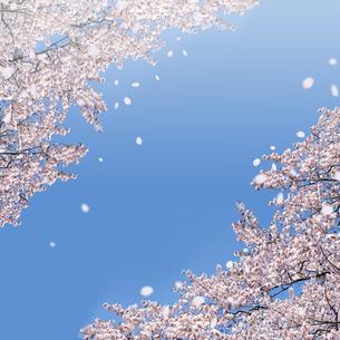 青空に舞う桜 の写真素材 [FYI00228307]