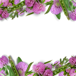 エンドウ豆と赤詰草のフラワーアレンジメント の写真素材 [FYI00228323]
