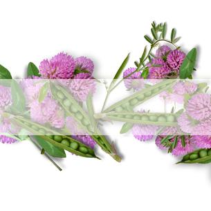 エンドウ豆と赤詰草のフラワーアレンジメント の写真素材 [FYI00228324]
