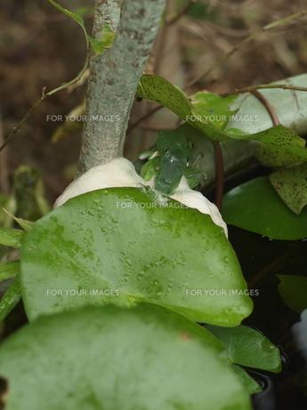 ヤエヤマアオガエル 産卵の写真素材 [FYI00228451]