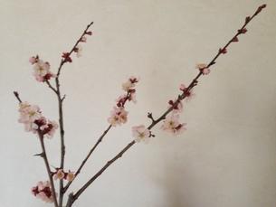 梅の花 横の写真素材 [FYI00228466]