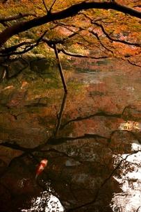 紅葉と錦鯉の素材 [FYI00229119]