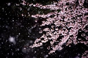 雪桜の素材 [FYI00229137]
