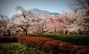 羊山の桜「秩父の代表」の写真素材 [FYI00229213]