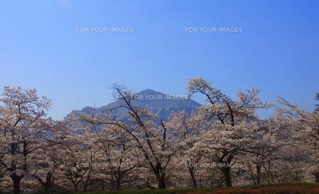 秩父羊山の桜「さわやか」の素材 [FYI00229226]