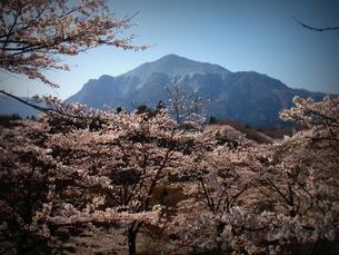 羊山の桜の素材 [FYI00229233]
