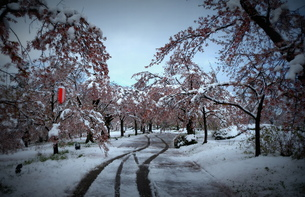 桜「雪を跳ね返せよ」の素材 [FYI00229245]